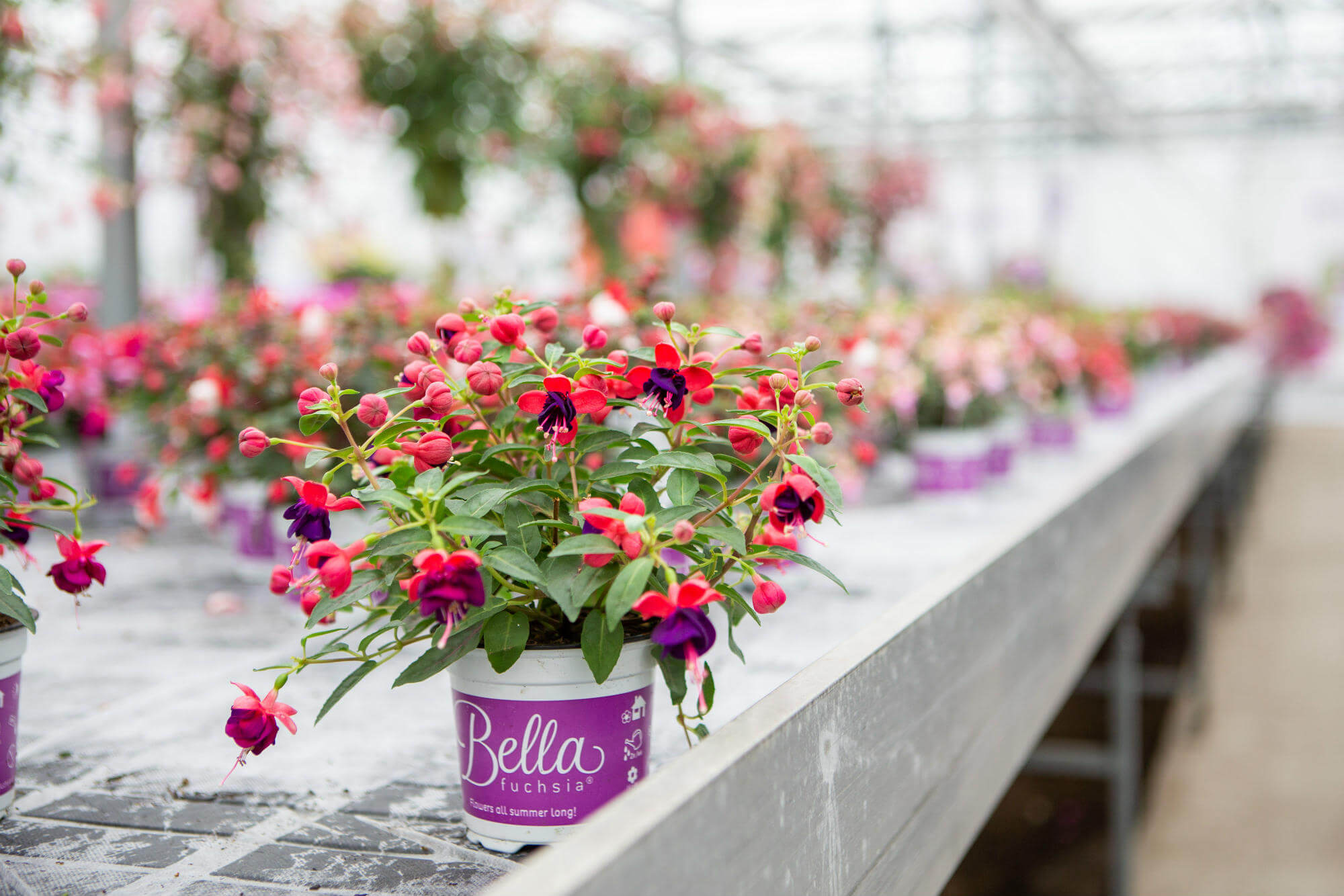 bella-fuchsia-pot-new