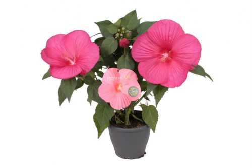 Hibiscus Magenta witte achtergrondx1