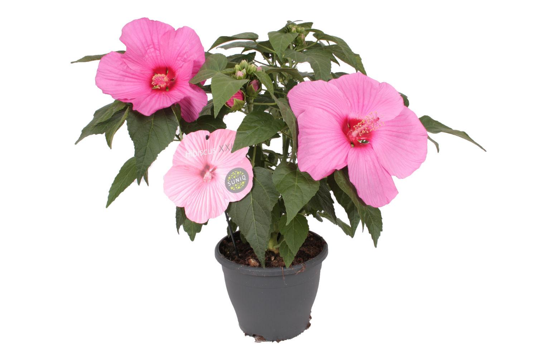 Hibiscus Roze witte achtergrondx1